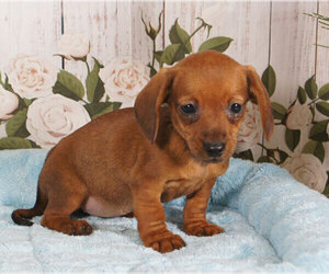 Dachshund Puppy for sale in PENNS CREEK, PA, USA
