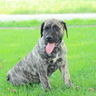 Presa Canario Puppy For Sale in GAP, PA,
