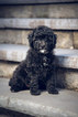 Poodle (Miniature) Puppy For Sale in NORRISTOWN, PA, USA