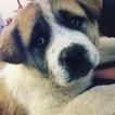 Akita Puppy For Sale in COLORADO SPRINGS, CO, USA