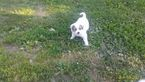 Great Pyrenees Puppy For Sale in GRANT CITY, MO, USA