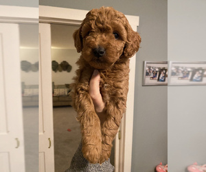 Goldendoodle-Poodle (Miniature) Mix Puppy for sale in MILTON, PA, USA