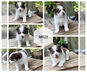 Pomsky Puppy for Sale in MIAMI, Florida USA