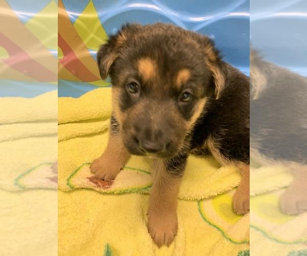 Medium Photo #6 German Shepherd Dog Puppy For Sale in ALBANY, NY, USA