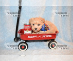 Small #7 Maltipoo-Poodle (Toy) Mix