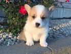 Pembroke Welsh Corgi Puppy For Sale in SAN GABRIEL, CA, USA
