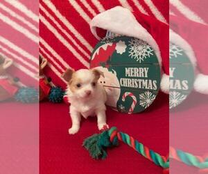 Chihuahua Puppy for sale in HICKSVILLE, NY, USA
