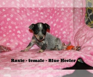 Australian Cattle Dog-Rat Terrier Mix Puppy for Sale in CLARKRANGE, Tennessee USA
