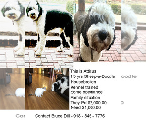 Sheepadoodle Puppy for sale in TULSA, OK, USA