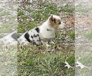Welsh Cardigan Corgi Puppy for sale in HOYLETON, IL, USA