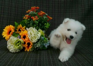 Japanese Spitz Puppies And Dogs For Sale In Usa