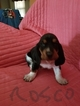 Basset Hound Puppy For Sale in SAND SPRINGS, OK, USA