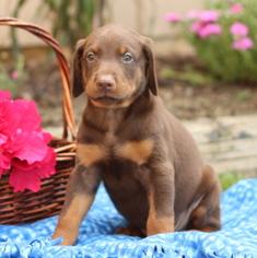 Doberman Pinscher Puppy for sale in GAP, PA, USA