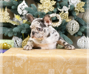 French Bulldog Puppy for sale in BENSALEM, PA, USA