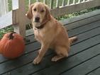 Golden Retriever Puppy For Sale in FOWLERVILLE, MI, USA