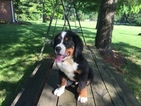 Bernese Mountain Dog Puppy For Sale in ENON, OH, USA