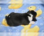 Puppy 2 Beagle