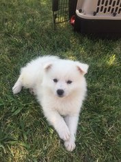 American Eskimo Dog Puppy For Sale in CITRUS HEIGHTS, CA, USA
