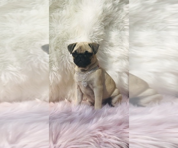 Medium Photo #19 Pug Puppy For Sale in CANTON, CT, USA