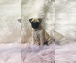 Small Photo #19 Pug Puppy For Sale in CANTON, CT, USA