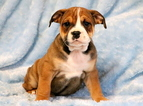 English Bulldog-Rottweiler Mix Puppy For Sale in MOUNT JOY, PA, USA