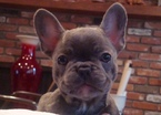 French Bulldog Puppy For Sale in ARTESIA, CA