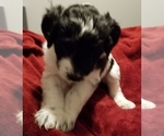 Puppy 6 Bordoodle