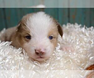 Miniature Australian Shepherd Puppy for Sale in TERRE HAUTE, Indiana USA