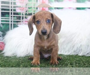 Dachshund Puppy for sale in MARIETTA, GA, USA