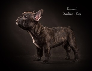 French Bulldog Puppy for sale in Moscow, Moscow, Russia