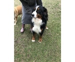 Bernese mountain dog AKC Registered