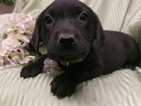 Labrador Retriever Puppy For Sale in DENVER, PA, USA