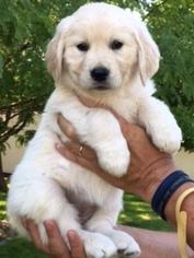 Golden Retriever Puppy For Sale in GRANTSVILLE, UT, USA