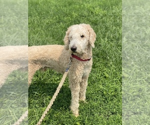 Poodle (Standard) Puppy for sale in CLERMONT, IN, USA