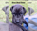 Puppy 6 Great Dane