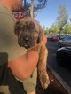 Cane Corso Puppy For Sale in HILLSBORO, OR, USA