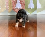 Small Photo #4 Australian Shepherd Puppy For Sale in OPELOUSAS, LA, USA