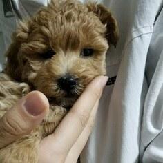 Puppyfinder com: Maltipoo puppies puppies for sale near me in Texas, USA