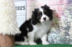 Cavalier King Charles Spaniel Puppy For Sale in BEL AIR, Maryland,