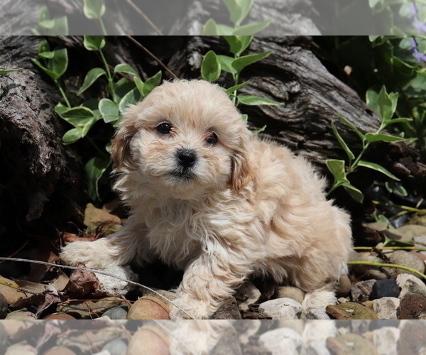 Medium Photo #2 Shih-Poo Puppy For Sale in SHILOH, OH, USA