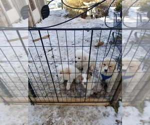 Great Pyrenees Puppy for sale in WILLIAMSBURG, CO, USA