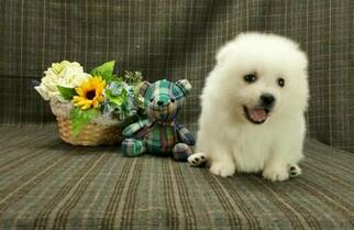 Japanese Spitz Dog for Adoption in LOS ANGELES, California USA