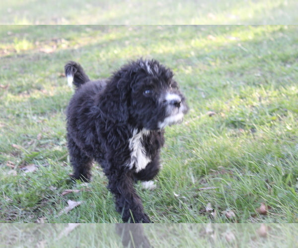 Medium Photo #1 Bernedoodle Puppy For Sale in JOICE, IA, USA