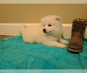 American Eskimo Dog Puppy for sale in RIDGEFIELD, WA, USA