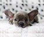 Small Photo #1 French Bulldog Puppy For Sale in HOUSTON, TX, USA