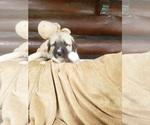 Small #18 Anatolian Shepherd-Maremma Sheepdog Mix