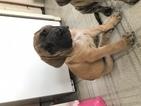 Mastiff Puppy For Sale in LITITZ, PA, USA
