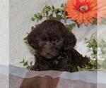 Small Poodle (Toy)-Yorkiepoo Mix