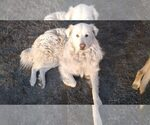 Small Maremma Sheepdog