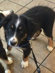 Australian Shepherd Puppy for sale in RIVESVILLE, WV, USA